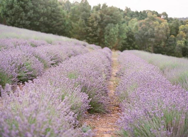 Lavender Theme 3