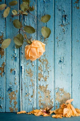 blue wall peach rose